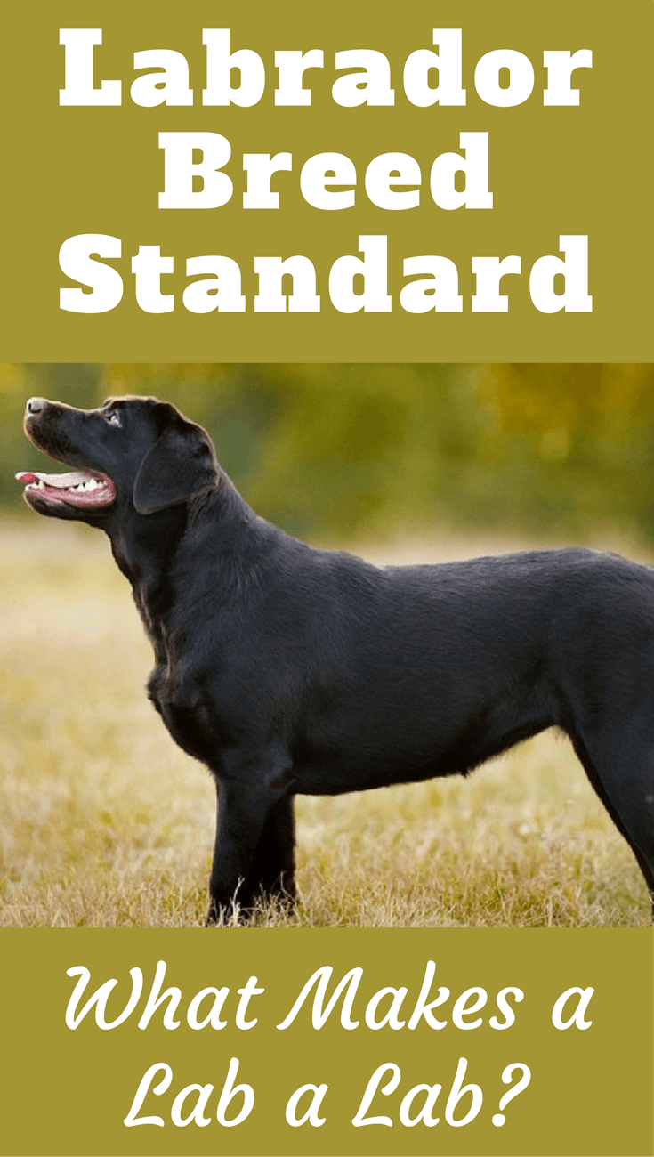 The Labrador Breed Standard dictates the look, temperament and characteristics of the perfect Labrador. Read here to find out exactly what that should be!