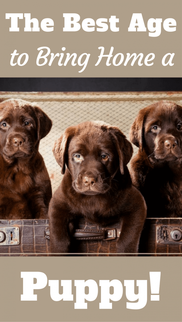 Behavioral problems can develop in a puppy removed from its litter-mates too early. So what's the best age to bring a Labrador puppy home? Find out here...