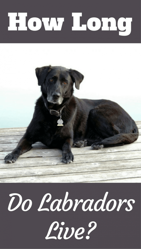In this article we discuss the average labrador lifespan, answer how long labradors live and give the name and age of the worlds oldest ever living lab.