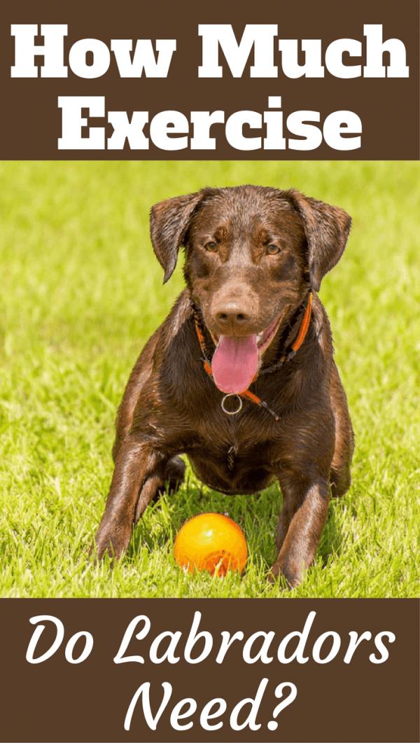 How much exercise does a Labrador need? To be fit, healthy and happy, Labrador Retrievers need a lot. But how much exactly? Read to find out more...