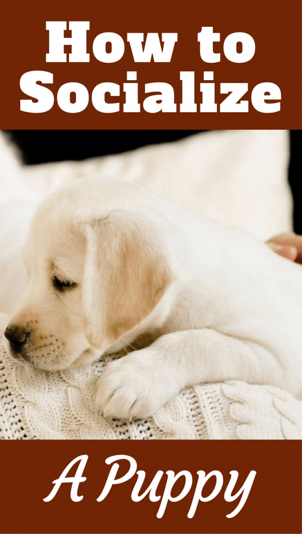 How to socialize a puppy and raise a happy, confident, behaviorally sound dog who takes life in their stride and who you can be confident taking anywhere.