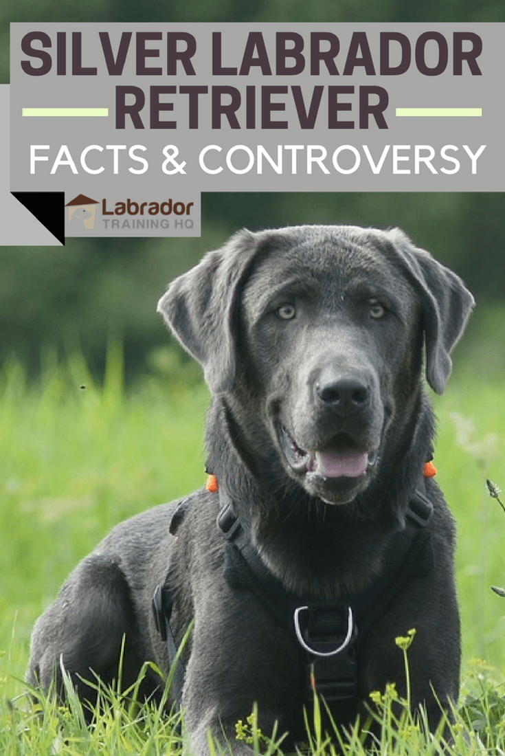 Silver Labrador Retriever: Facts About Silver Labs You Need