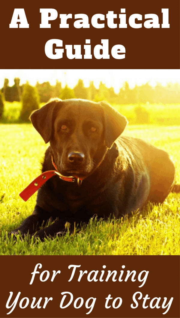 Training your Lab to stay until released is an effective form of control. To keep them safe crossing roads, prevent bolting, good manners at doors and more.