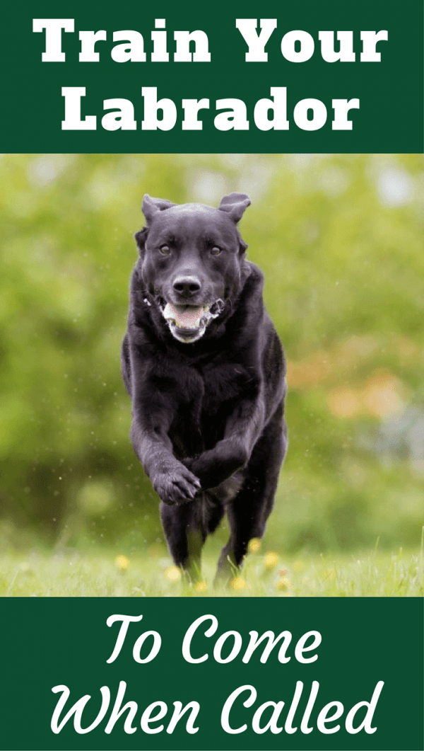 Training your Labrador to come on cue - also known as recall - is important for both your dog's safety and your peace of mind. Learn how in our next guide.