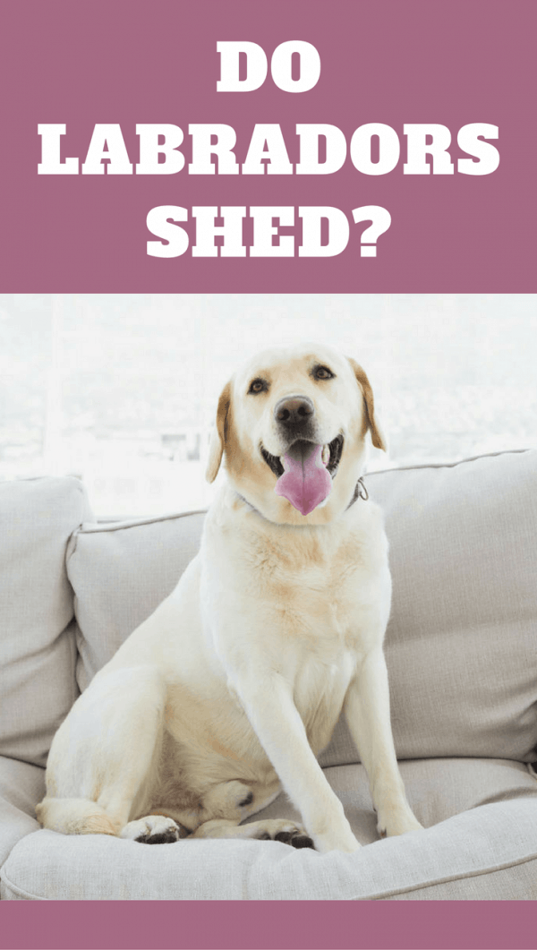 Do labs shed? If you're asking this, I can only think you're yet to get one! They shed...a lot! We discuss how to manage it in this short guide.