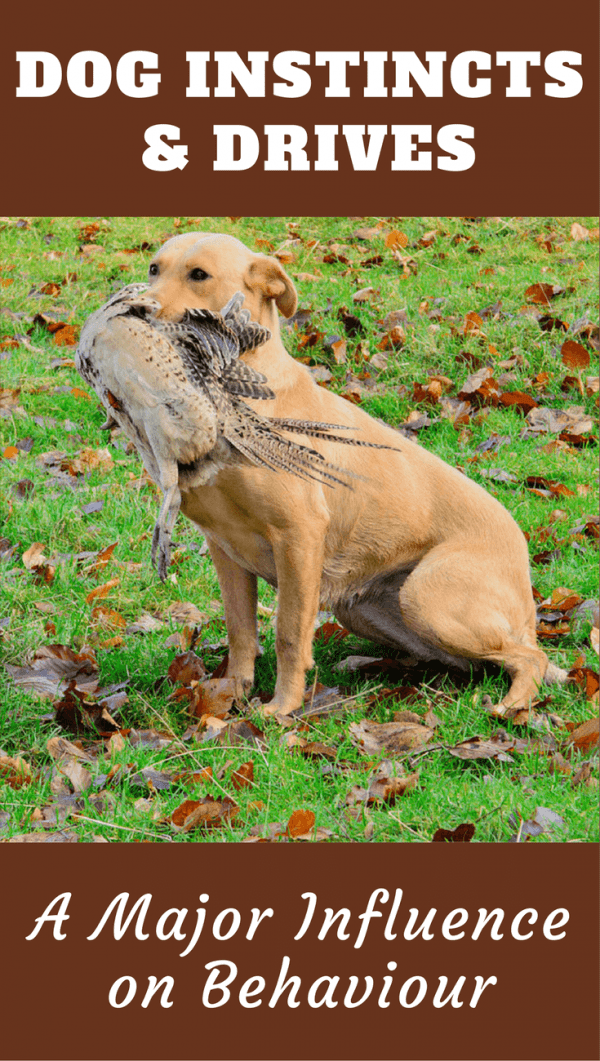 Dog instincts and drives - A major influence on Labrador behavior. What are they? What does each mean? Why you should control some and let others be.