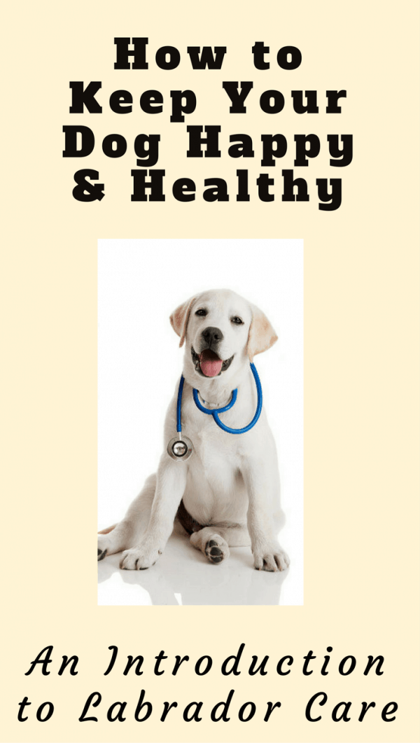 Caring for a Labrador Retriever isn't complicated, it just takes a little knowledge and getting into routines. Read this introduction to what is required.