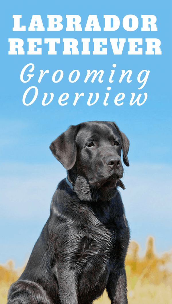 Grooming your Labrador should be fun and a time to bond. We discuss the basics here, so you know what you have to do and what to expect.