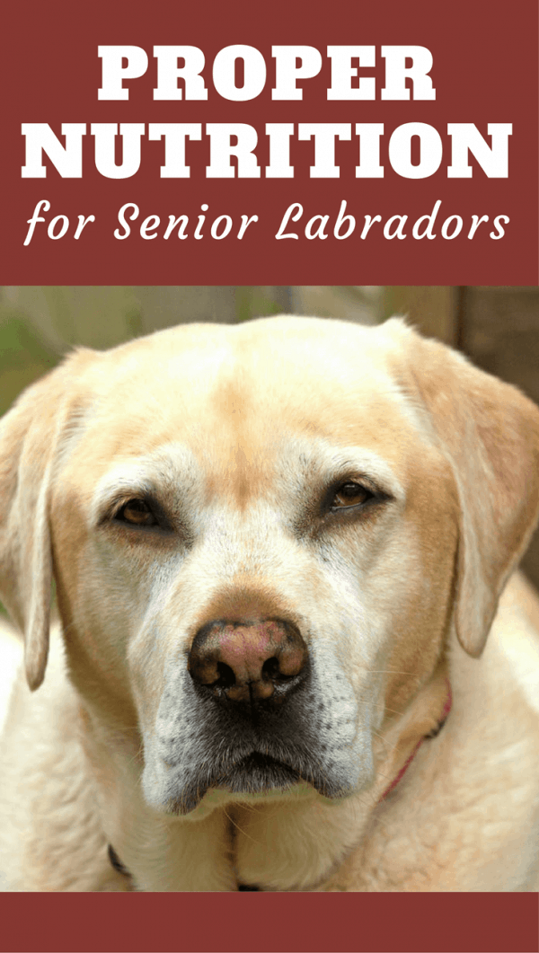 Much like us, dogs have changing dietary needs at different stages life. Find out how the needs of your elderly labrador should be met in this discussion.