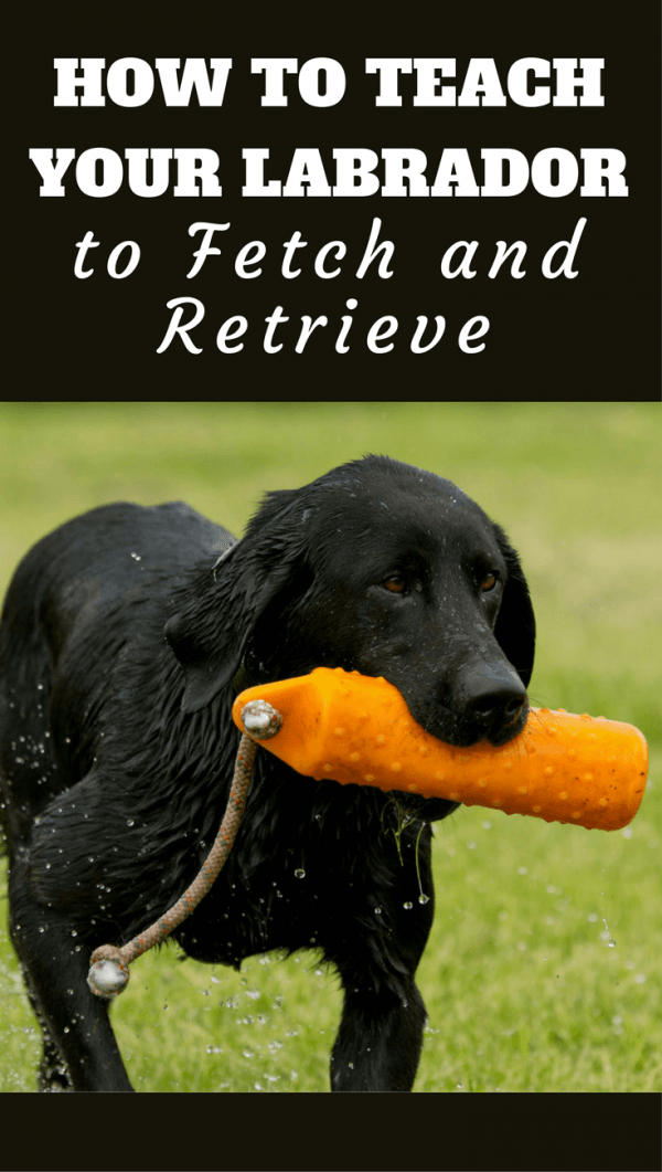 Labrador Retriever, it's in the name, but not all labs instinctively do it. So learn how teach your lab to fetch and retrieve with our latest guide.