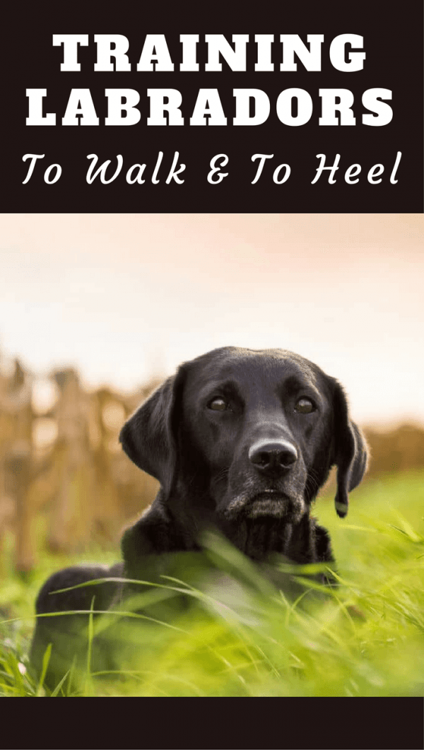 Training a Labrador to Walk to Heel