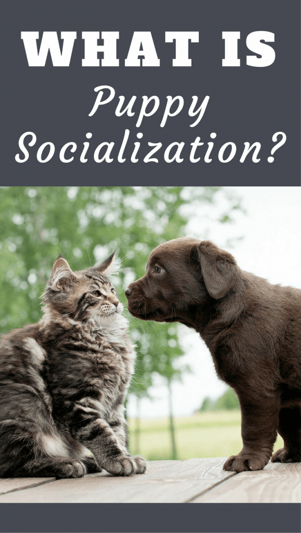 The term appears in every good training text and piece of advice, so exactly what is puppy socialization? Find out here, and why it's so vitally important!