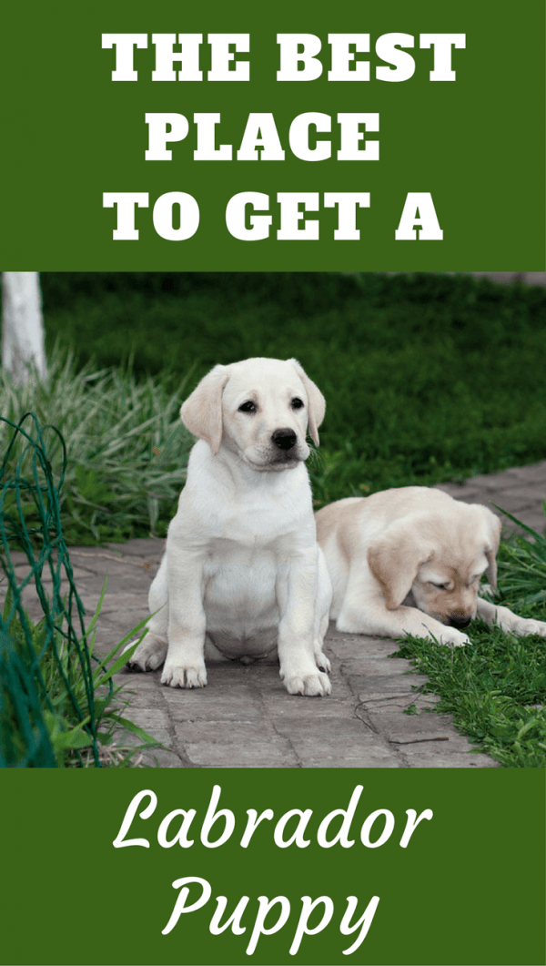 It's difficult to decide where to get a Labrador. A breeder? A rescue center? Pet store? Your friends new puppies? Read the pros and cons of each way here.