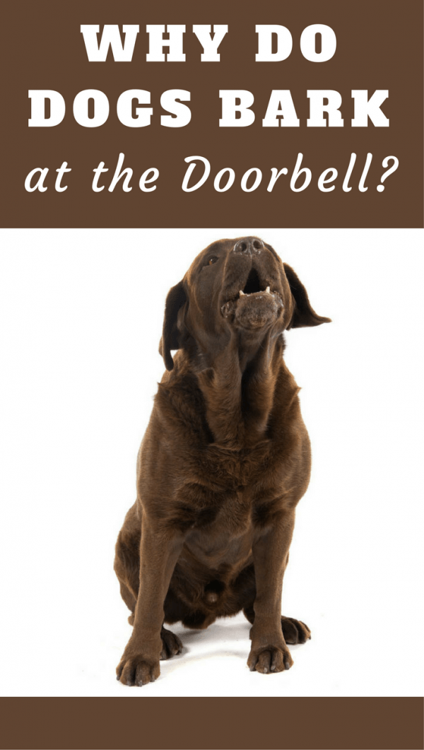 If your dog barks at the doorbell every time it rings, it can be a nuisance. But why do they do it? Is it something you want to train them to stop?