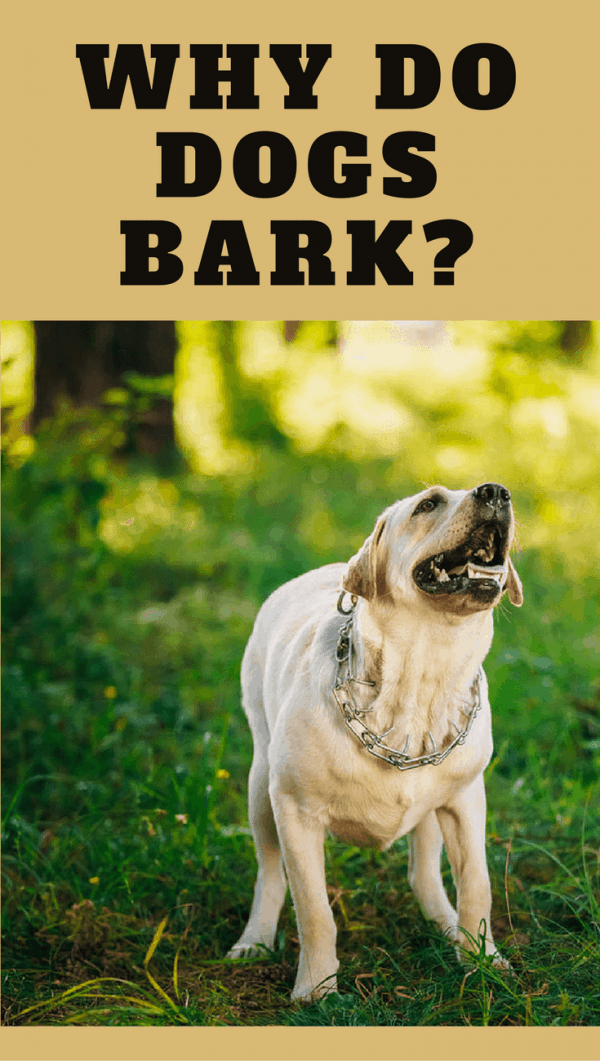Dogs are descended from wolves, and wolves don't bark. So why do dogs bark? It's an important form of communication so let's see when and why they bark.