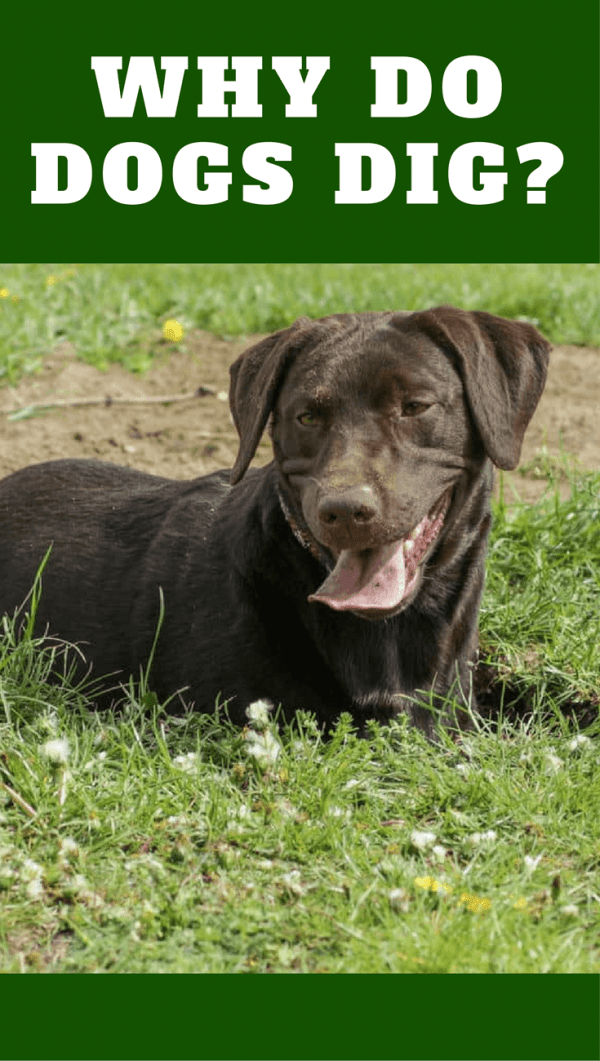 Why do dogs dig? We all think it's to bury bones, or look for food, but there are a few other reasons that all make a lot of sense...