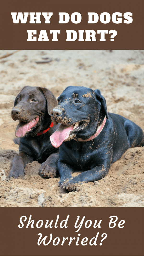 Quirky behaviors go hand in hand with dog ownership, most can be easily explained, but why do dogs eat dirt? The answers may surprise you.