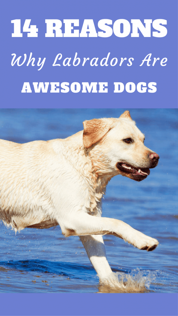 Labradors are consistently the USAs most popular dog and to show you why they deserve the top spot, here are 14 reasons why Labradors are so awesome!