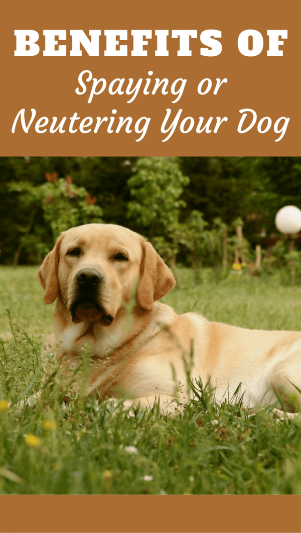 Discover the many benefits of spaying or neutering your dog: From helping ease overpopulation, to avoiding disease and calming temperament.