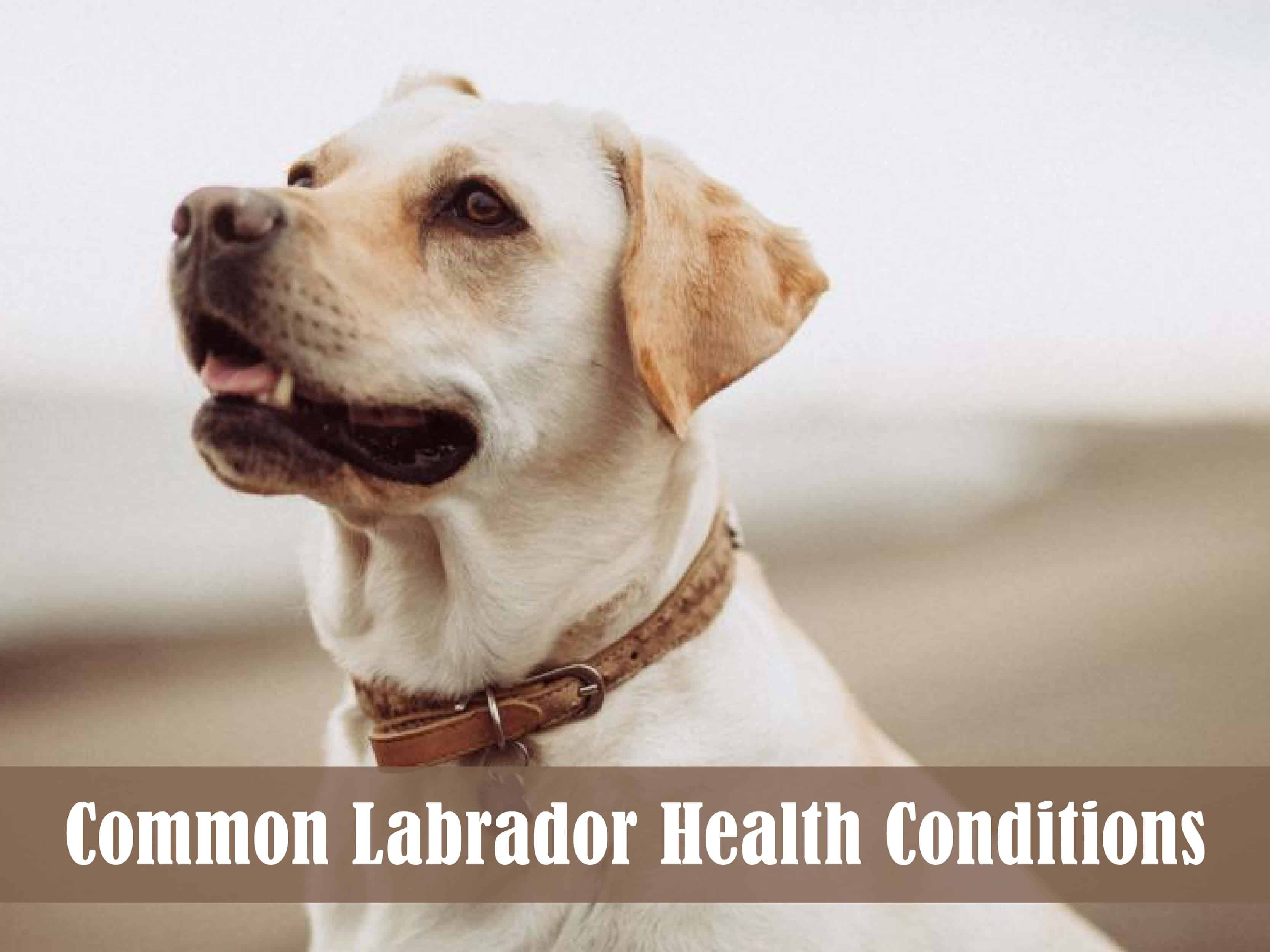 The Most Common Labrador Health Conditions and How to Prevent Them