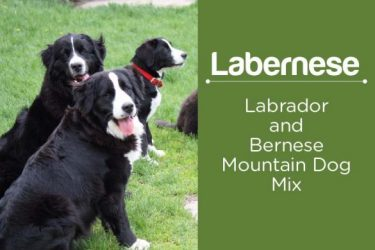 Labernese: Facts About Bernese Mountain Dog Lab Mix