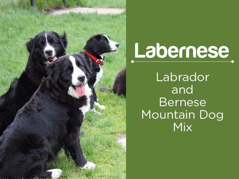 Labernese Facts About Bernese Mountain Dog Lab Mix Gentle