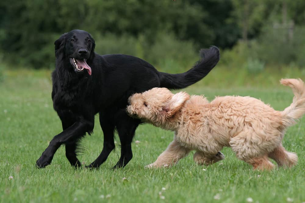 The Goldador Dog A Golden Retriever And Lab Mix