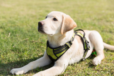Labradors - Temperament, Ways of Play and Ideal Toys
