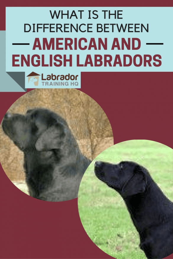 You will almost certainly have come across the terms, but what's the difference between American and English Labrador Retriever? Is there one?