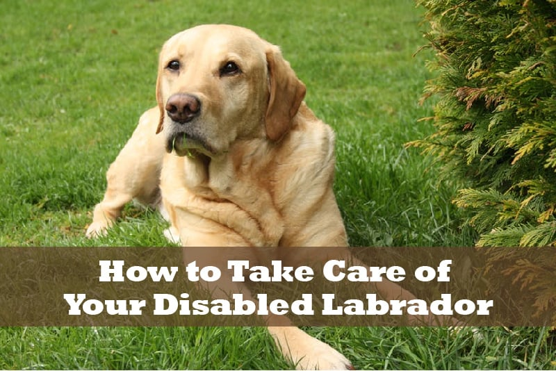 How to Take Care of Your Disabled Labrador