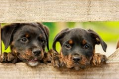 rottweiler puppies in a backyard