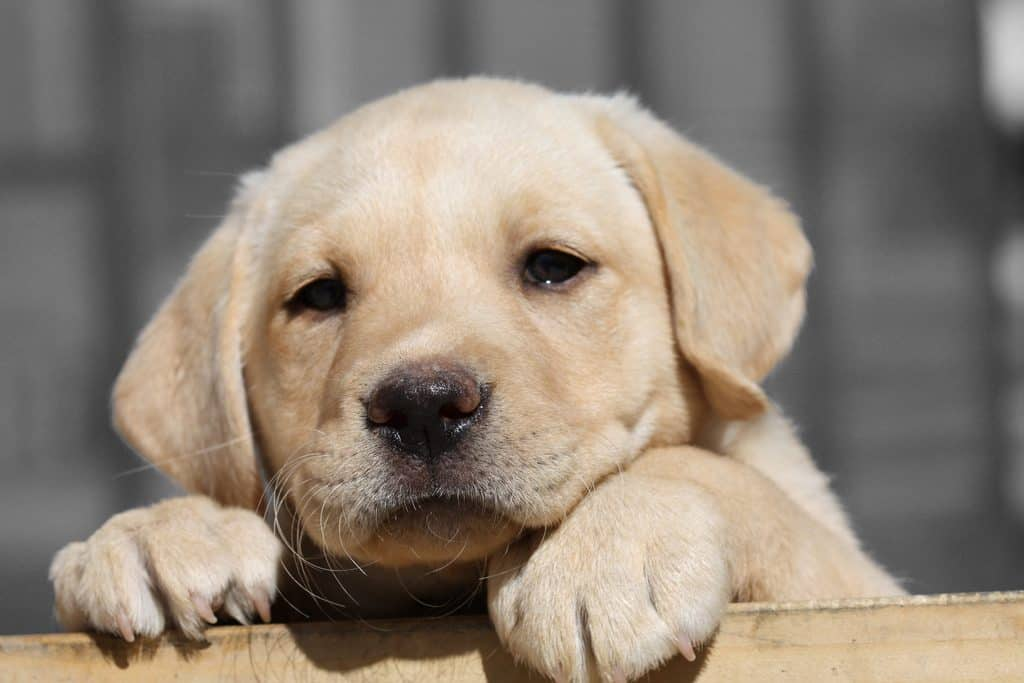 Yellow Lab puppy looking up over wall.