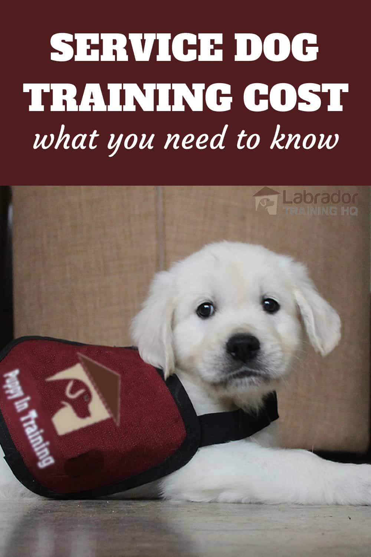 Service Dog Training Cost - Golden puppy down with service dog puppy in training vest