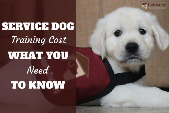 Service Dog Training Cost And What You Need To Know - Golden puppy in down stay with service dog vest