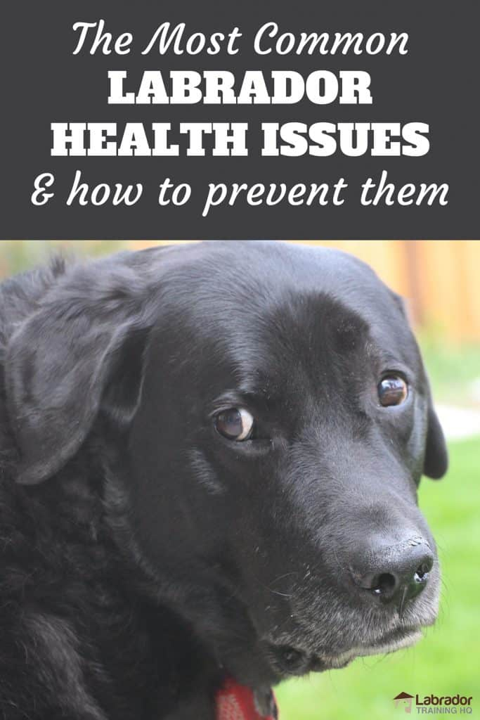 The Most Common Labrador Health Issues - Senior black Lab Staring back