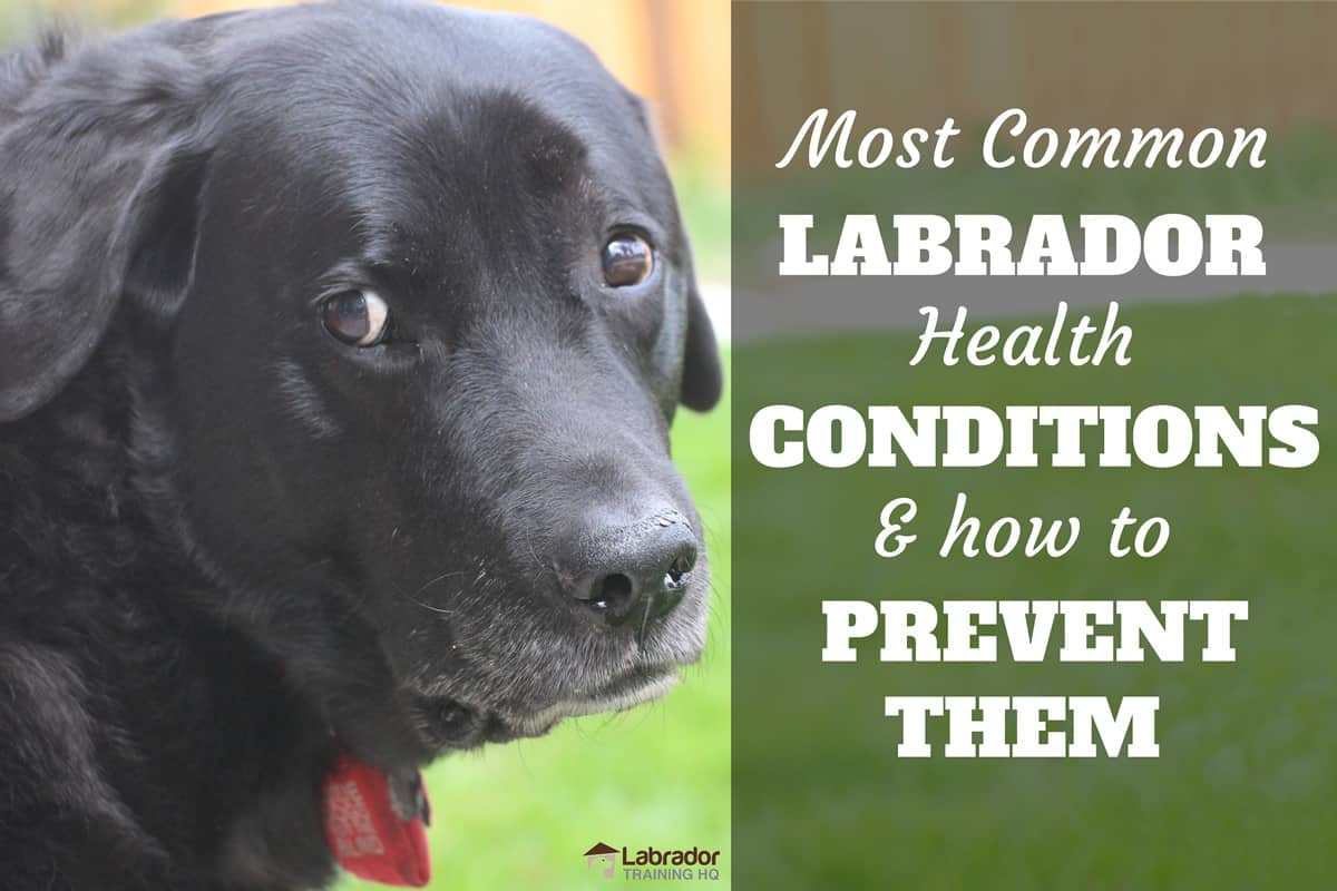The Most Common Labrador Health Conditions And How To Prevent Them Labradortraininghq