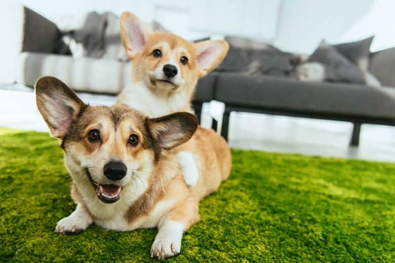 Can Dogs Get Dementia? - Two corgi's sitting on green carpet One corgi on top of the other