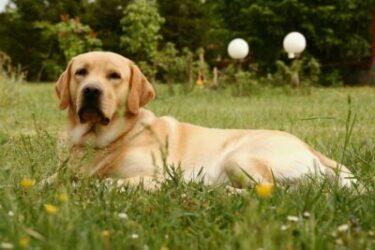 Labrador Adoption