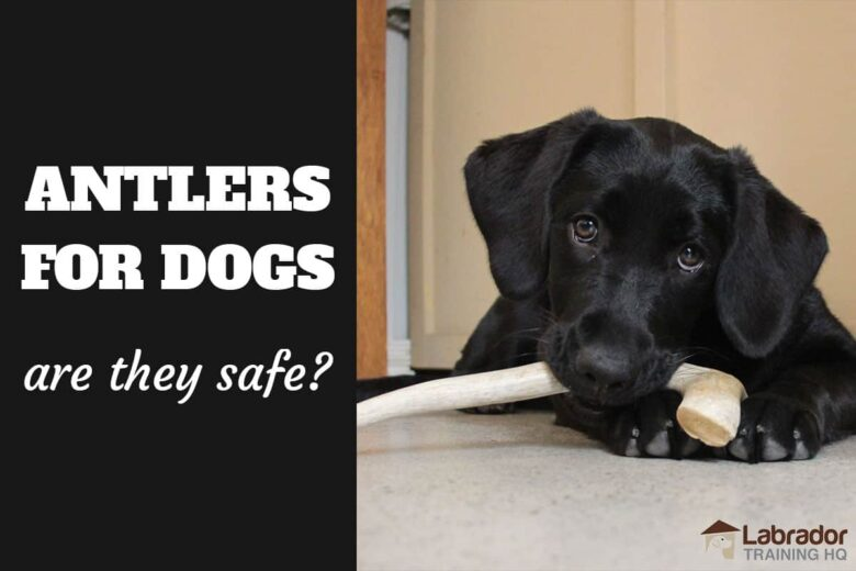 Antlers For Dogs - Are They Safe?  Black Lab puppy chewing on an antler.