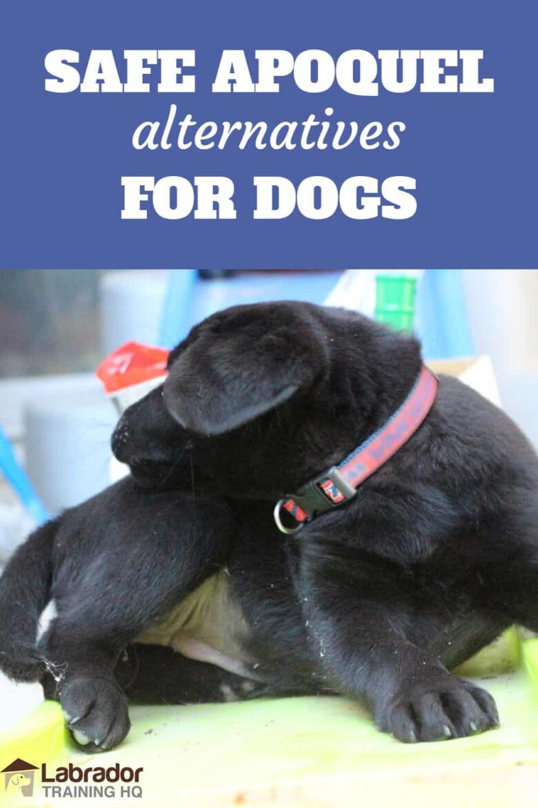 Safe Apoquel Alternatives For Dogs - Black Lab with red collar reaching towards her back with her mouth.