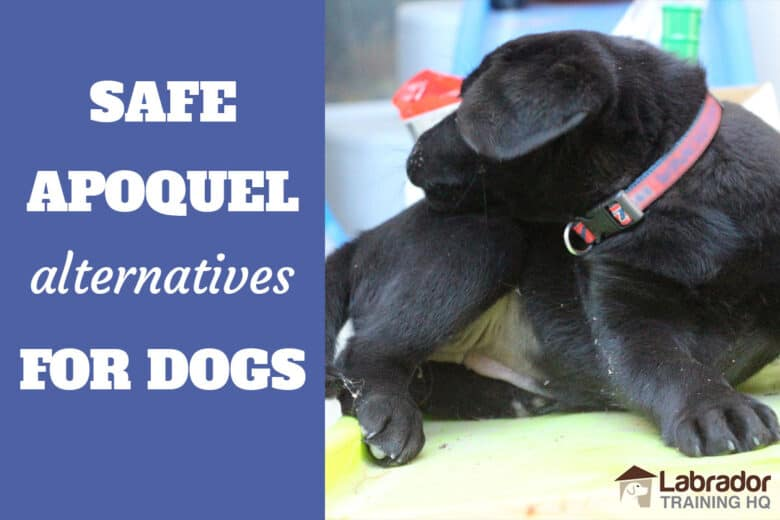 Safe Apoquel Alternatives For Dogs - Black Lab reaching towards her back to bite/scratch herself