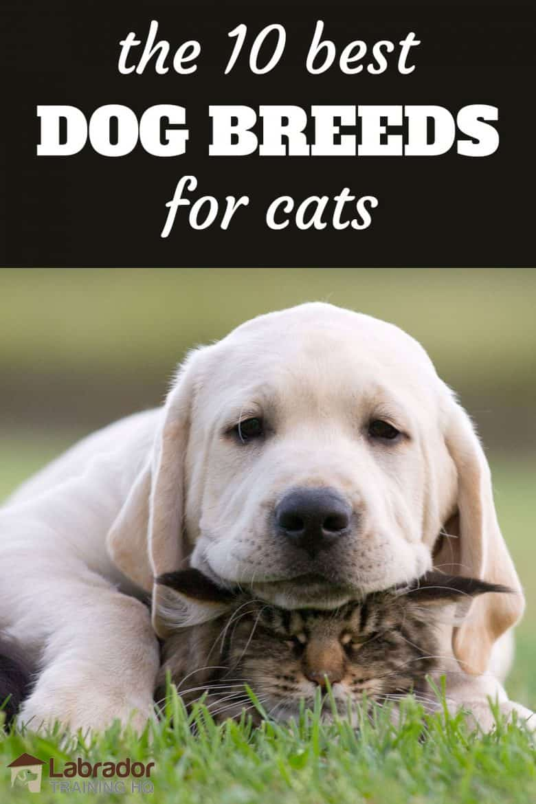The 10 Best Dog Breeds For Cats - Yellow Lab puppy rests his head on top of cat.