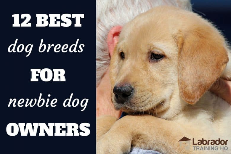 12 Best Dog Breeds For Newbie Dog Owners - Yellow Labrador puppy being carried around on shoulder.