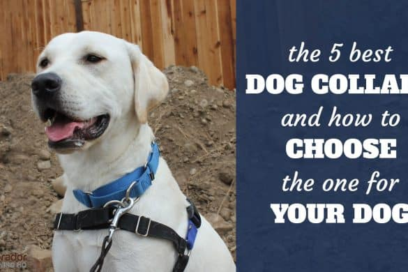 The 5 best dog collars and how to choose the one for your dog - yellow lab with martingale collar and harness