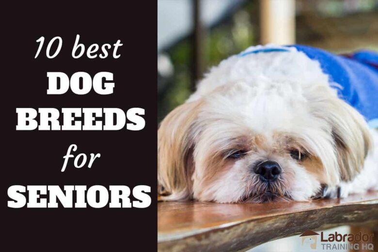 10 Best Dog Breeds For Seniors - Shih Tzu in blue jackets relaxing on a wood table.
