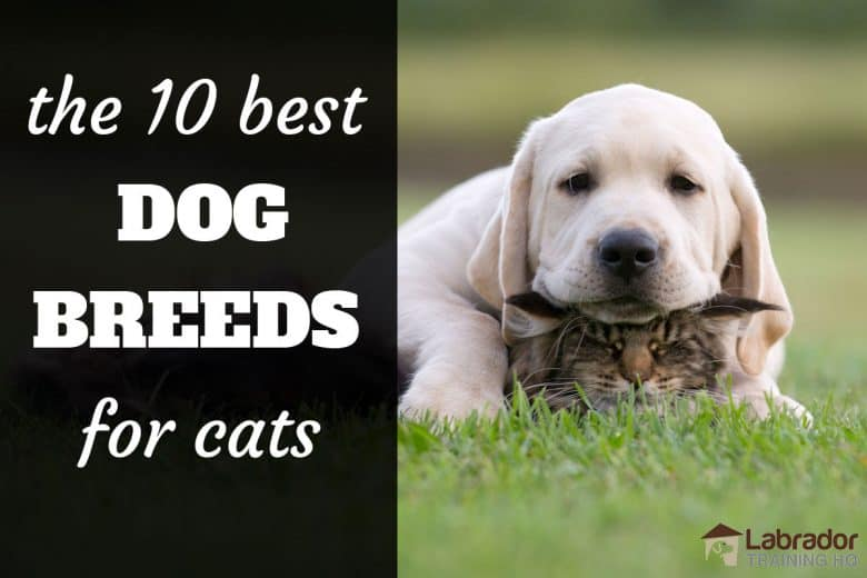 The 10 Best Dog Breeds For Cats - Yellow Labrador Retriever rests his head on his kitty cat pal.