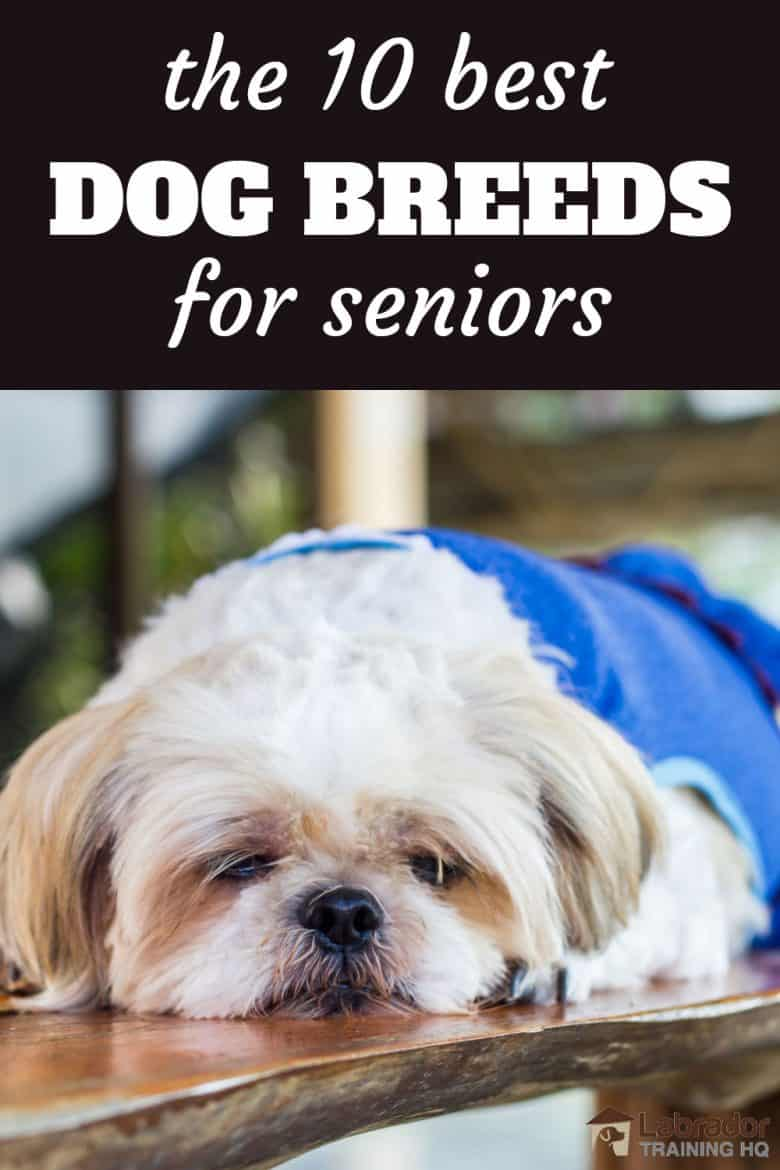 The 10 Best Dog Breeds For Seniors - Shih Tzu relaxing on a wood table.