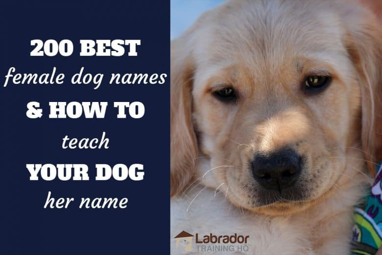 200 best female dog names and how to teach your dog her name - Yellow Lab puppy looking into the camera.