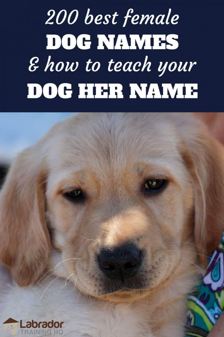 200 best female dog names and how to teach your dog her name - Yellow Lab puppy looking at the camera.