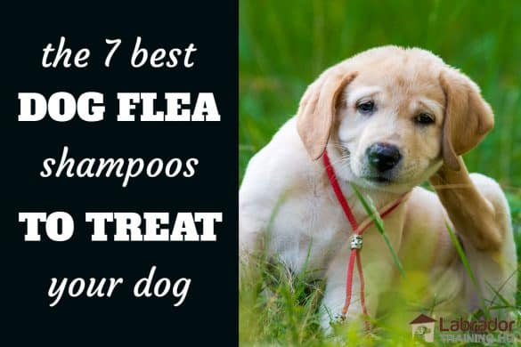 7 Best Dog Fleas Shampoos To Treat Your Dog - Labrador Retriever puppy itching behind his ear sitting in grass.
